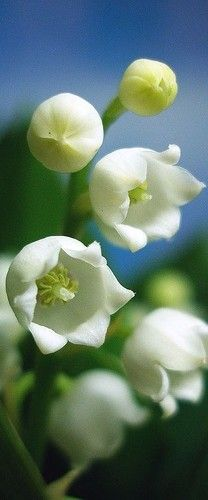 Lily of the Valley..so tiny so beautiful