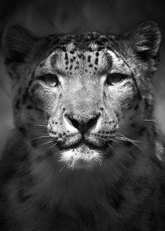 Snow leopard.... beyond beautiful