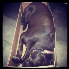 Dog in a box.too funny! I Love Dogs, Best Dogs, Labrador Retrievers, Puppies, Horses, Labradors, Box, Funny, Animals