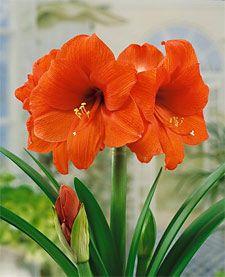 Orange Sovereign Jumbo Amaryllis - 1 bulb