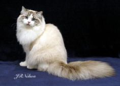 "Ragamuffin cat. Also referred to as ""ragdoll cats'  Ours was a love. So very dog like and affectionate. I miss him!"