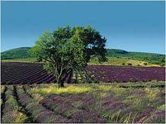 Resultado de imagen de campos de Lavanda y otros cultivos