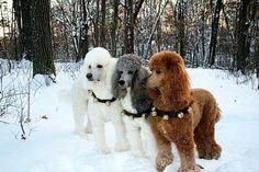Jingle poodles