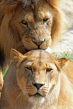 African Lion & Lioness