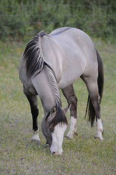 A Grulla color can be mouse, blue, dove or slate colored, with dark sepia to black points. Grulla (pronounced grew-yah) has no white hairs mixed in the body hairs. Grulla horses have the dorsal and shoulder stripes, and leg barring.