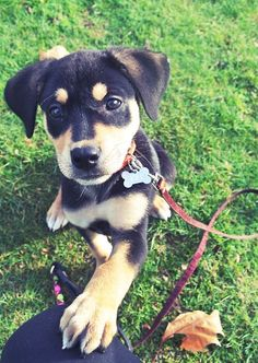 Lab/Rottweiler mix. Yes please. How adorable