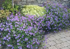 Geranium .. Rozanne.  For edging, in pots and at base of roses and shrubs to cover bare canes. Hardy zones 5-8.