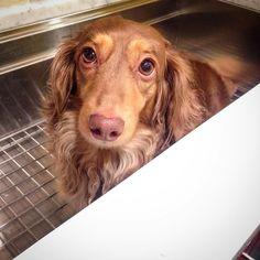 Uuggh bath time is the worst!! #dachshunds #wienerdog #dachshundoftheday #doxies #instapet #wiener #dog #dachshund #pets #doglover #doxie #lacyandpaws #miniaturedachshund #sausagedog #ilovemydoxie #dogs #doxiefever #petstagram #instadog #dachshundsofinstagram #adoring #dachshundsonly #doggytales #barkbox #doxiefever #dogdailyfeaturesss #dogsofinstaworld #houndsbazzar #cute #hunde by doxies_love