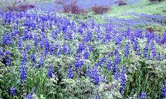 blooms in israel | Blooming in blue