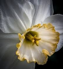 Image result for daffodil close up