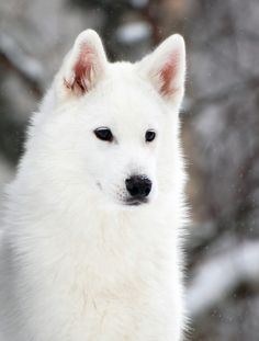 Samoyed. Until such time as Jurassic Park sorts themselves out, this is my ideal pet.