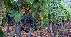 Steven Zoernack: Top Grape Growing Countries