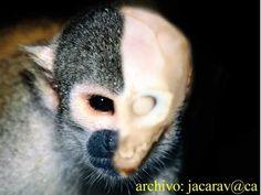 .  .  Pocos enigmas relacionados con extrañas criaturas han gozado de la popularidad alcanzada por el pequeño ser de Metepec (México). En a...