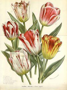 147405 Tulipa gesneriana L. var. hortensis / Houtte, L. van, Flore des serres et des jardin de l'Europe, vol. 16: t. 1683 (1845)