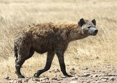 Spotted hyena | Flickr - Photo Sharing!
