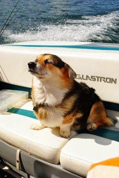 The Daily Corgi: Saturday #Corgi Smiler: Callie! Animals And Pets, Baby Animals, Funny Animals, Cute Animals, Funny Dogs, Corgi Dog, Pet Dogs, Dog Cat, Husky Puppy