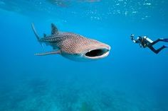 Diving with Shark Whale (Philippines) Whale Shark Diving, Swimming With Whale Sharks, Whales, Swimming Diving, Underwater Photographer, Underwater Photos, Underwater Life, Cozumel, Les Philippines