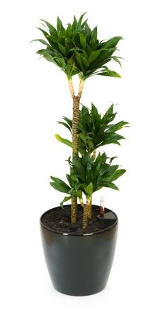 janet craig, dracaena deremensis, janet craig dracaena- air purifying plant