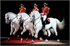Lipizzaner Stalians, date back to the 16 century, they are famous at the Spanish Riding School of Vienna