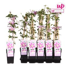 Clematis patens piilu Hungary, Store, Storage, Business, Shop