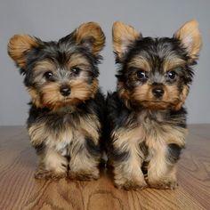 Yorkshire Terrier puppies #YorkshireTerrier