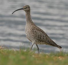 Whimbrel(Numenius phaeopus), the most widespread of the curlews, nesting in the Arctic across North America and Eurasia, wintering on the coasts of six continents. Whimbrels tend to concentrate in flocks at a few favored spots in migration, so that the observer sees either many of them or else very small numbers.