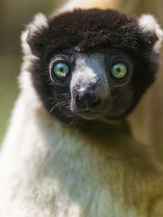 Portrait of a lemur with beautiful eyes.