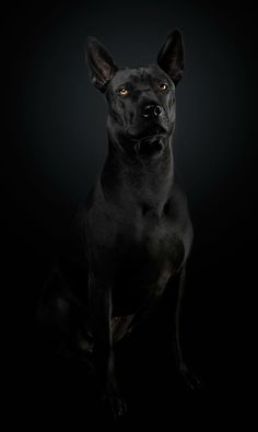 Professional Studio Dog Portraiture done by Vienna-based Shutter Dogs team. Toy Puppies, Dogs And Puppies, Doggies, All Dogs, I Love Dogs, American Staffordshire Terrier, Shutter Dogs, Mexican Hairless Dog, Thai Ridgeback