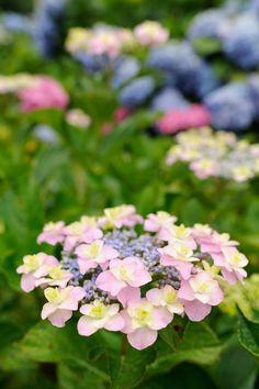 形原温泉あじさい祭りの最後はピンクに色づき始めたガクアジサイで。 @Katahara Spa, Gamagori, Aichi. (愛知県蒲郡市 形原温泉 形原温泉あじさいの里)