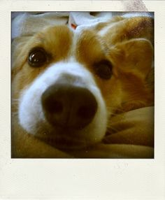 corgi! looks just like Daisy!