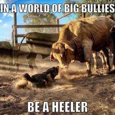 Never back down! Aussie Cattle Dog, Austrailian Cattle Dog, Never Back Down, I Love Dogs, Cute Dogs, Outback Australia, Saarloos, Herding Dogs, Bull Riding