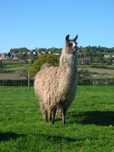Heather by Hillview Llamas, Frodsham, UK Llama Alpaca, Alpacas, Animals, Animaux, Animal, Animales, Animais