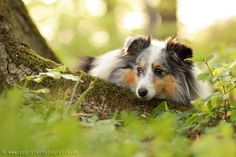 Sheltie in the forest in spring