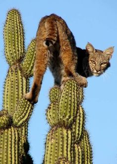"""Bobcat (Lynx rufus) I searched for """"cactus cat"""" and this was the first thing that popped up. Animal Gato, Mundo Animal, Beautiful Cats, Animals Beautiful, Big Cats, Cats And Kittens, Ragdoll Kittens, Kitty Cats, Animals And Pets"""
