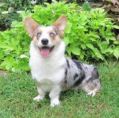 Blue Merle Corgi | you are the beautiful blue merle cardigan corgi highly sought after by ...