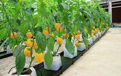 Hydroponic bell peppers like these may soon be available on a mass scale. #hydroponic #pepper