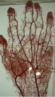 Bronchi fan out like coral in this resin cast that also shows pulmonary arteries and trachea. The bronchi supply air and pulmonary arteries supply blood to the lungs. Together they take in air from the atmosphere, oxygenate the blood, and excrete the carbon dioxide back out of the body. link