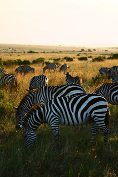 Sunset Zebras (by nep000)