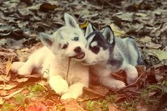 aww Adopt a Siberian Husky Cute Husky Puppies, Husky Puppy, Dogs And Puppies, Doggies, Huskies Puppies, Animals And Pets, Baby Animals, Cute Animals, Beautiful Dogs