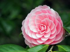 Think Pink! Discover the Design Power and Symbolism of the Color Pink — Camellia
