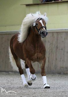 haflinger stallion Steeger Marta Nowakowska Photography