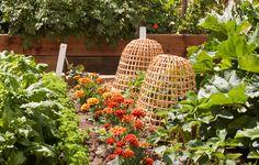 marigolds in vegetable patch - Google-haku