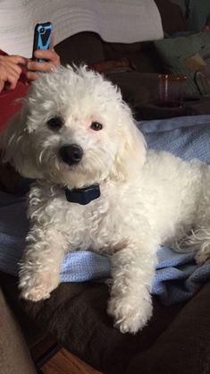Super Cute Puppies, Cute Dogs, Bichon Dog, Baby Animals, Cute Animals, Cute Animal Pictures, Poodles, Puppys, I Love Dogs