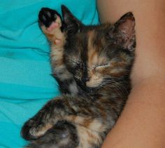 Sleeping Kitten photos et images sur fotocommunity Cute Kittens, Puppies And Kitties, Baby Kittens, Cats And Kittens, Kitty Cats, Tortoiseshell Cat Personality, Crazy Cat Lady, Crazy Cats, Tortie Kitten