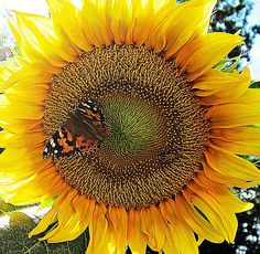 A large Sunflower is visited by a Painted Lady Butterfly and one other insect.