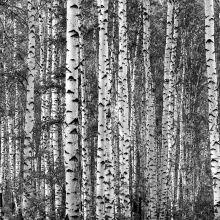 Die besten 25 fototapete birkenwald ideen auf pinterest birkenwald strandreisen und - Fototapete birkenwald schwarz weiay ...