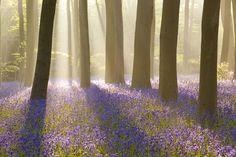 enchanting - British bluebells