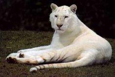 White Bengal Tiger White Bengal Tiger, White Tigers, Lions, Panther, Bears, Creatures, Big, Animals, Big Cats