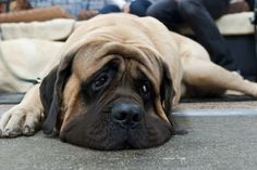 #English #mastiff want one