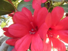 Rhododendron helwigii